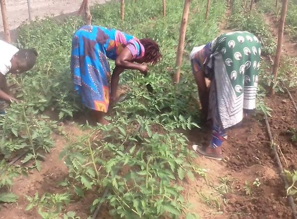 The first tomato plants in Kenya