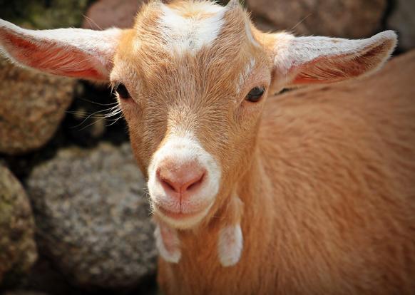 Donate a goat to the women of Mutanu